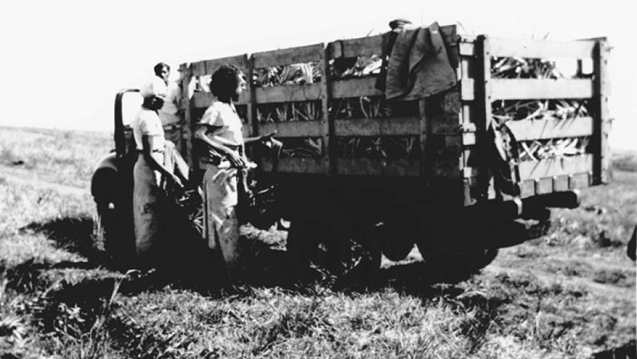 Labourers loading pineapple tops